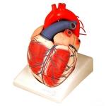 Heart Model Giant