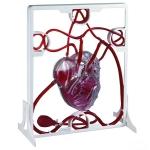 Pumping Heart Model
