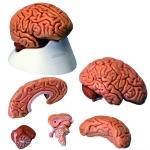 Human Brain Model 5 Parts
